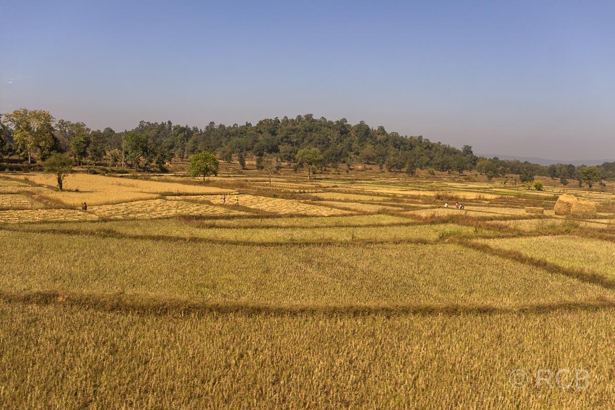 Kornfelder auf der Fahrt durch Madya Pradesh