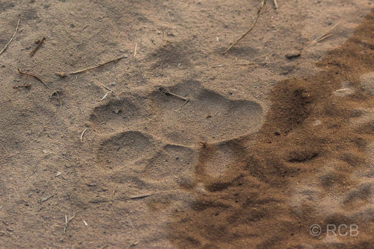 Tigerspur, Bandhavgarh National Park