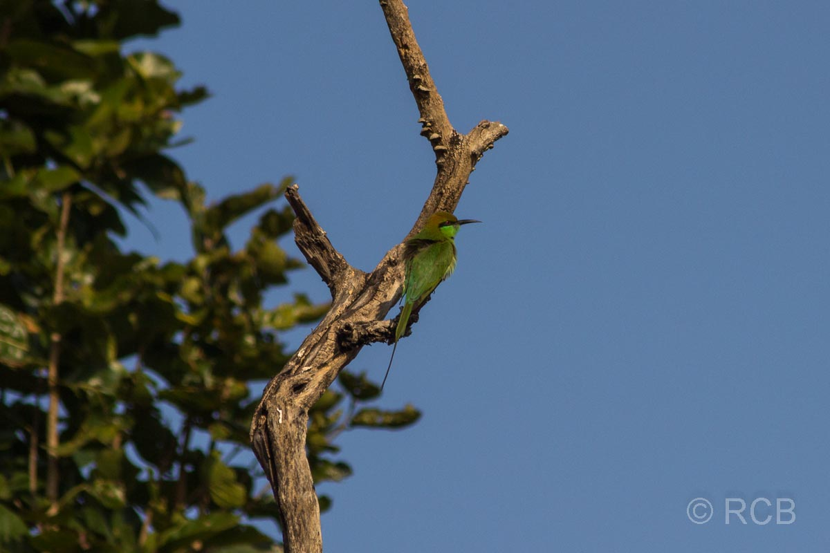 Smaragdspint, Bandhavgarh National Park