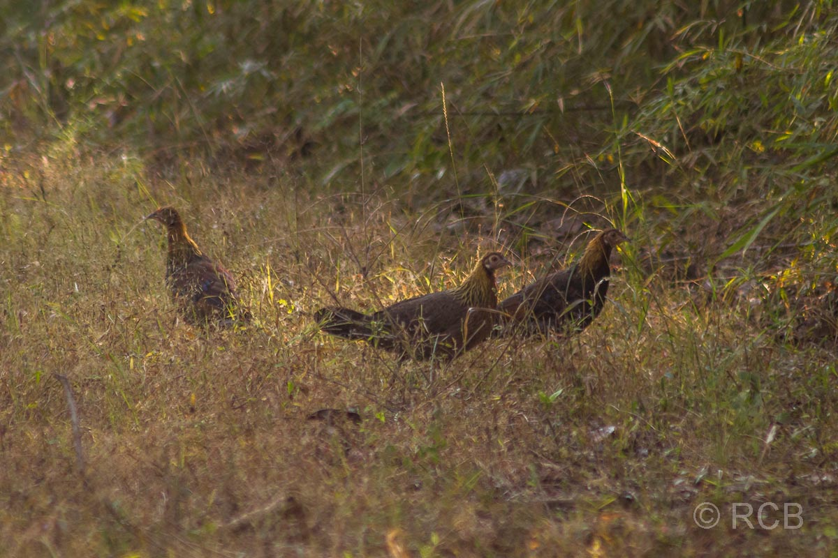 Bankivahühner, Bandhavgarh National Park