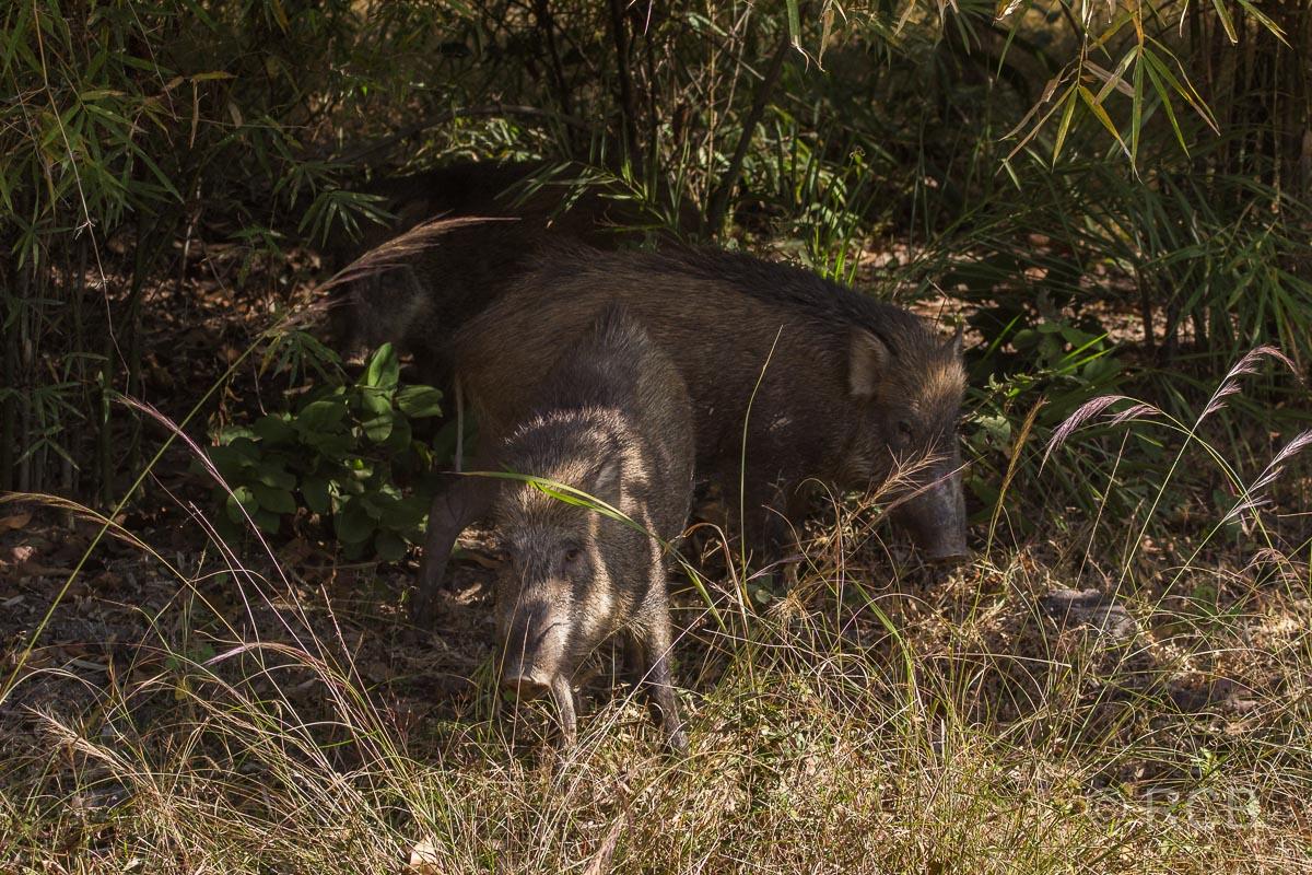 Wildschweine, Bandhavgarh National Park