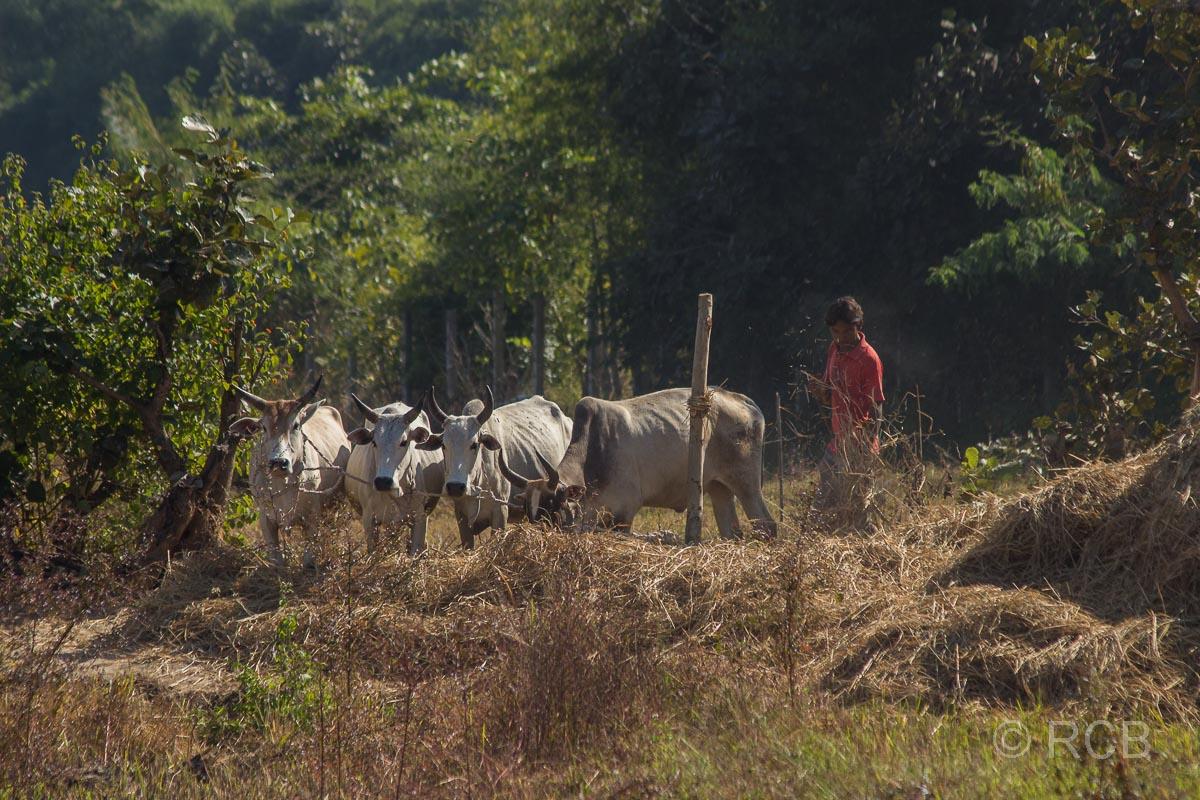 Bauer mit Kühen beim Dreschen von Getreide in der Nähe des Bandhavgarh National Park