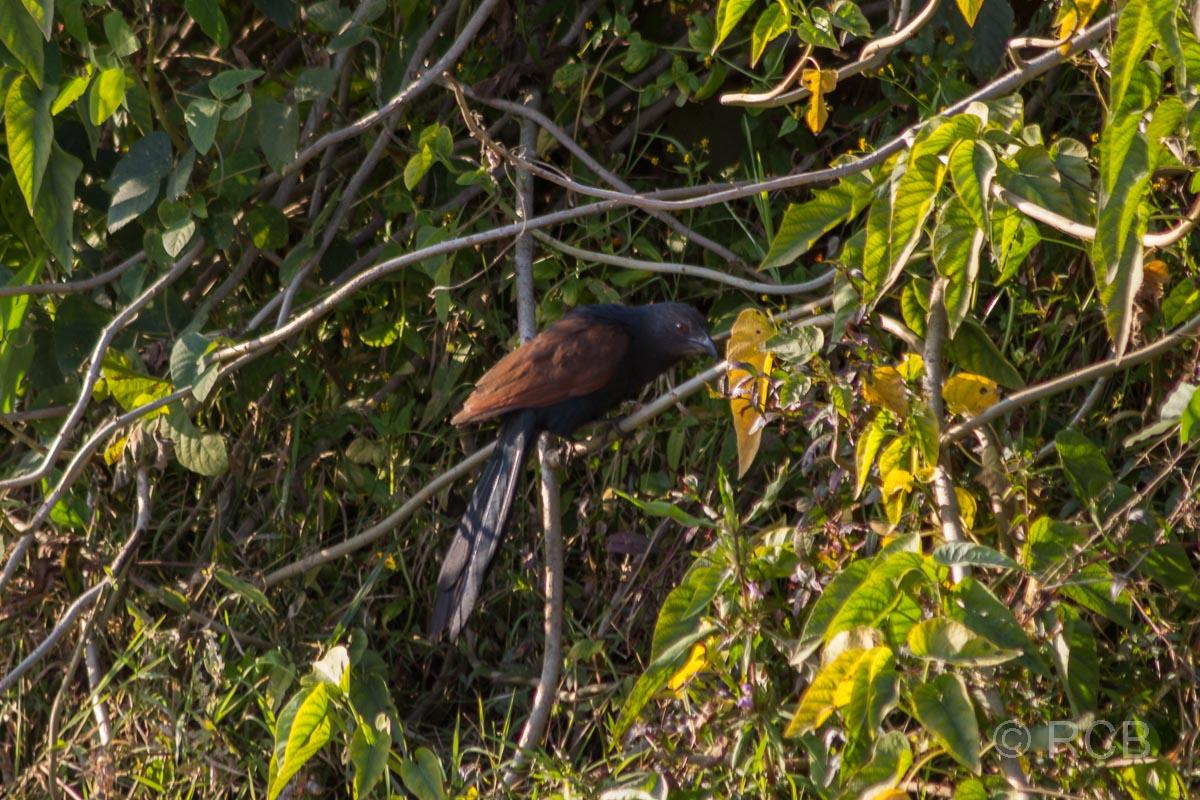 schwarzer Vogel, Bandhavgarh National Park