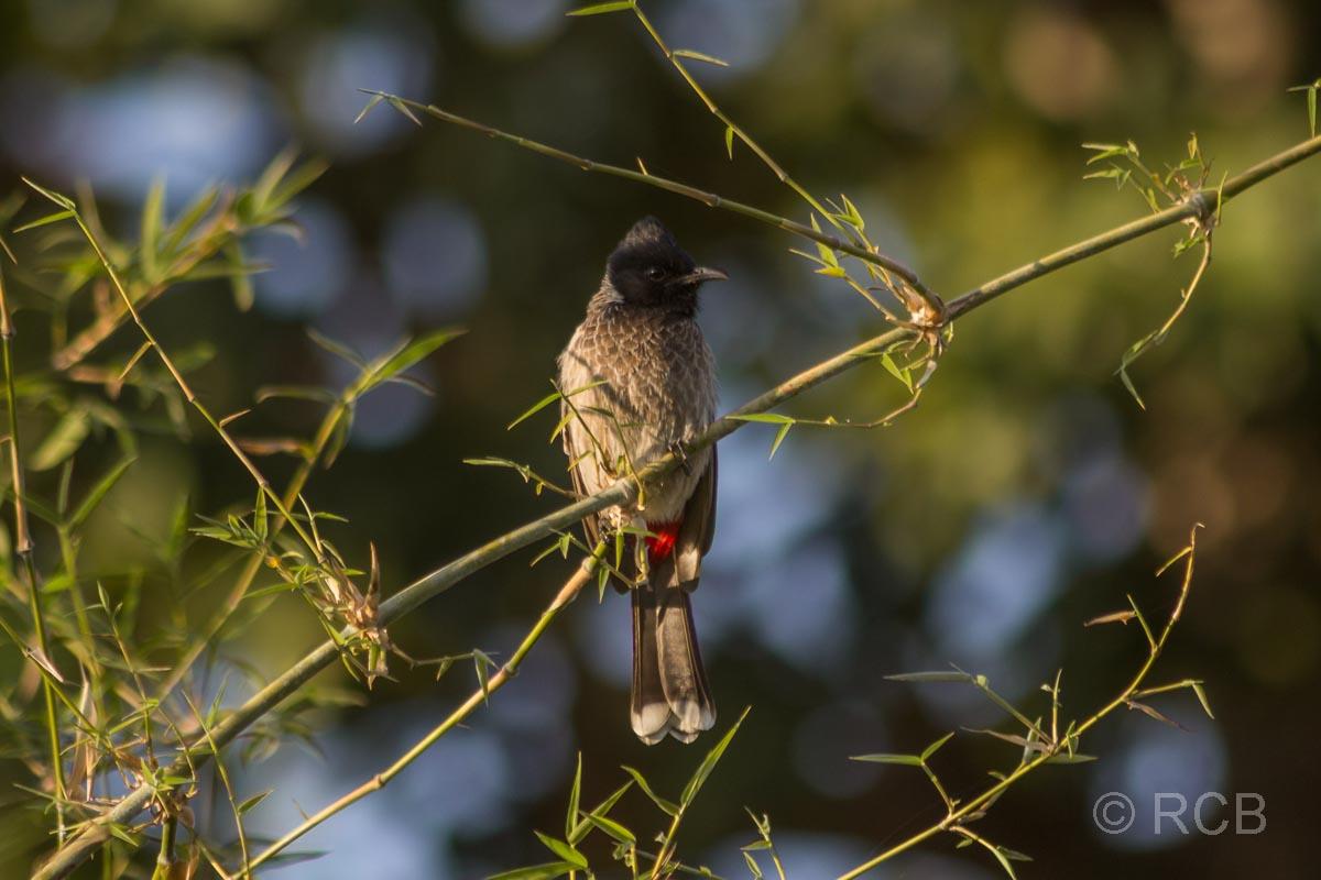 Rotbauchbülbül, Bandhavgarh National Park