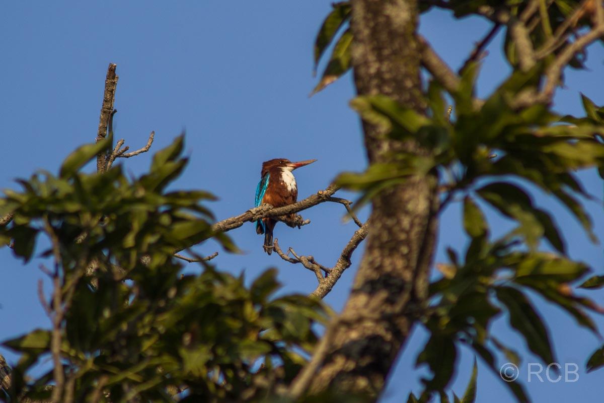 Braunliest, Bandhavgarh National Park
