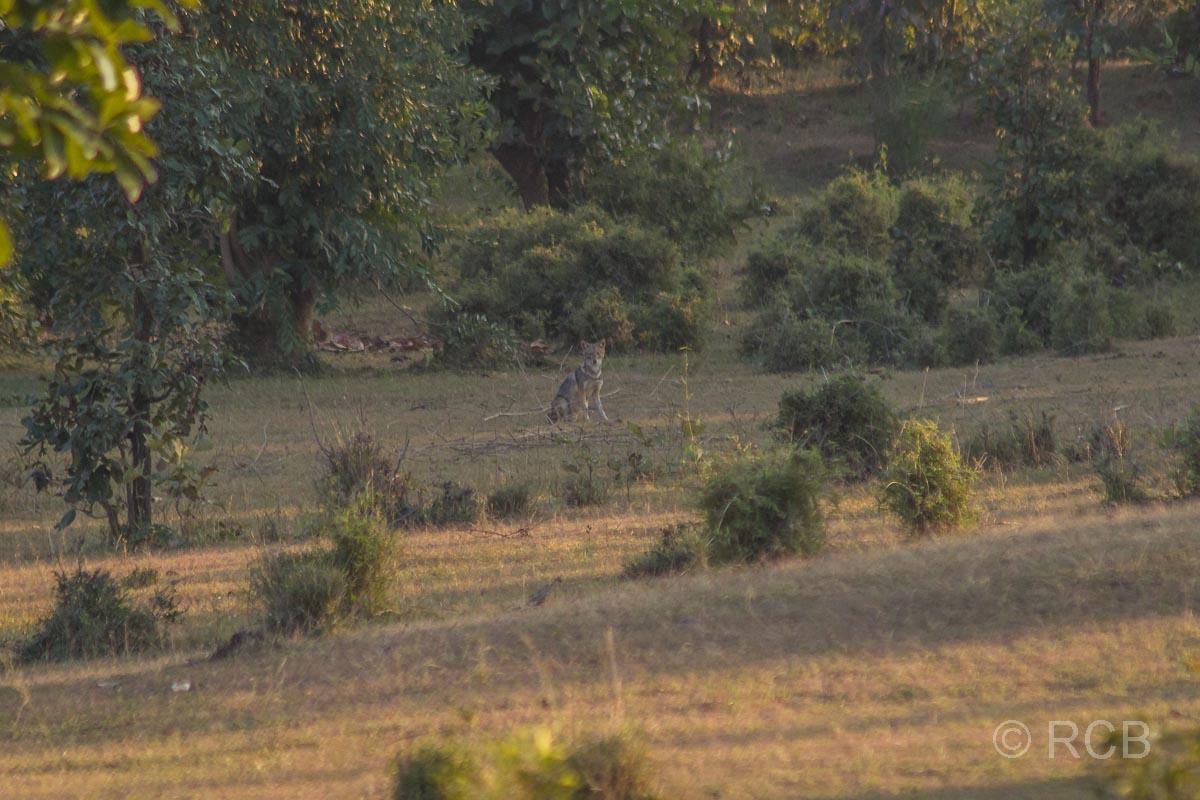 Schakal, Bandhavgarh National Park