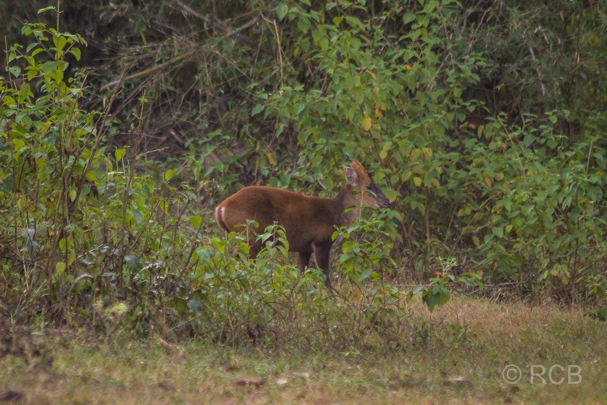 Muntjak, Bandhavgarh National Park
