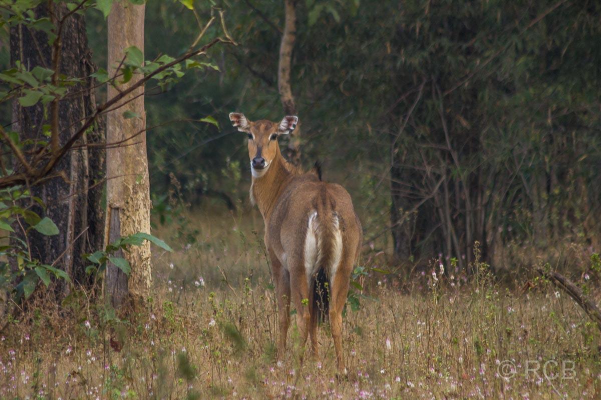 Nilgau-Antilope, Bandhavgarh National Park