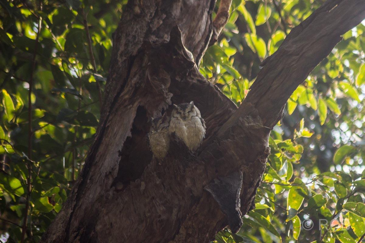 Eulen in einer Baumhöhle im Bandhavgarh National Park
