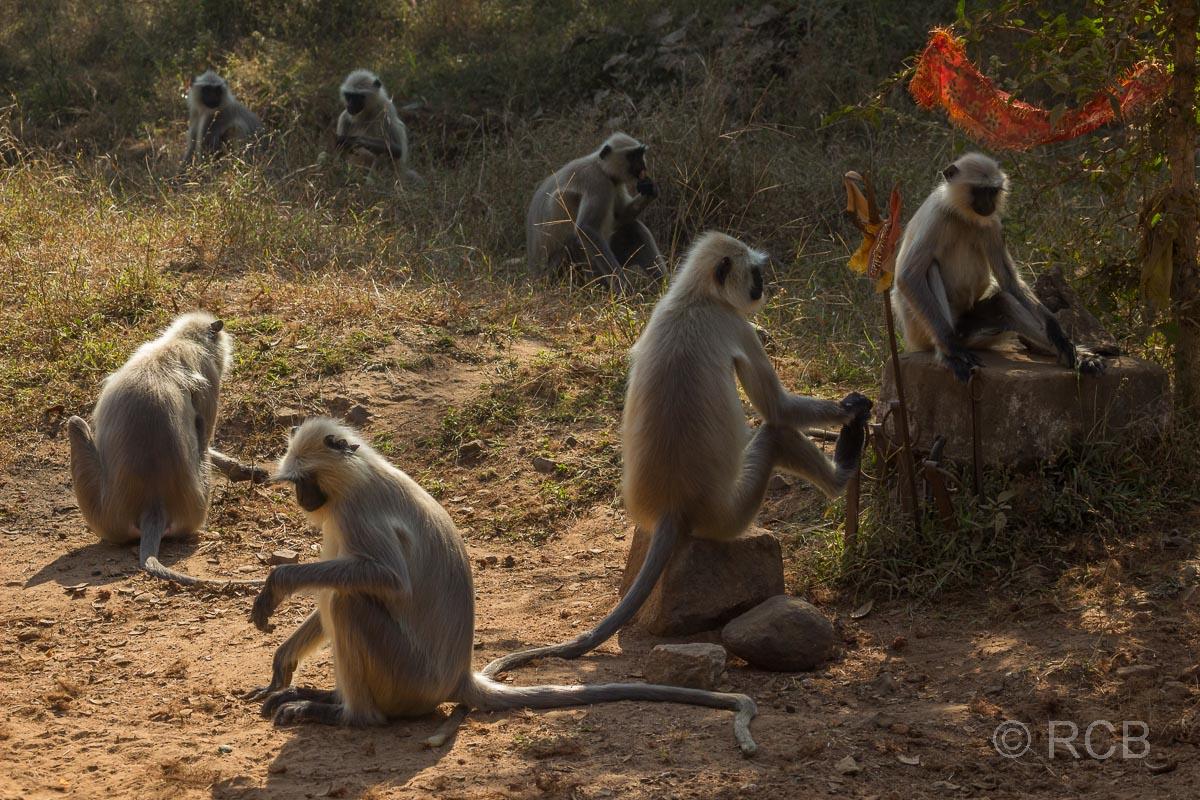 Languren, Bandhavgarh National Park
