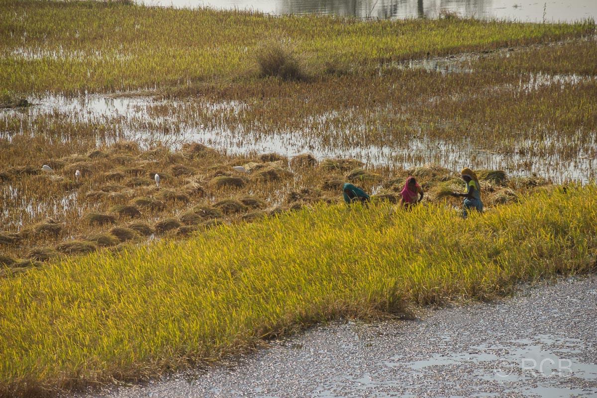 Bauern bei der Reisernte auf der Fahrt durch Madya Pradesh