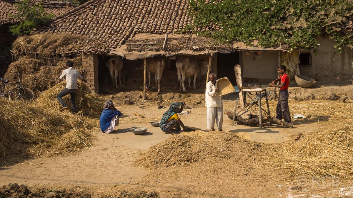 Menschen dreschen Getreide, Uttar Pradesh