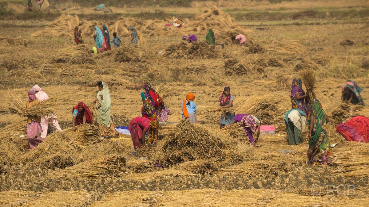 Frauen bei der Getreideernte auf der Fahrt durch Uttar Pradesh