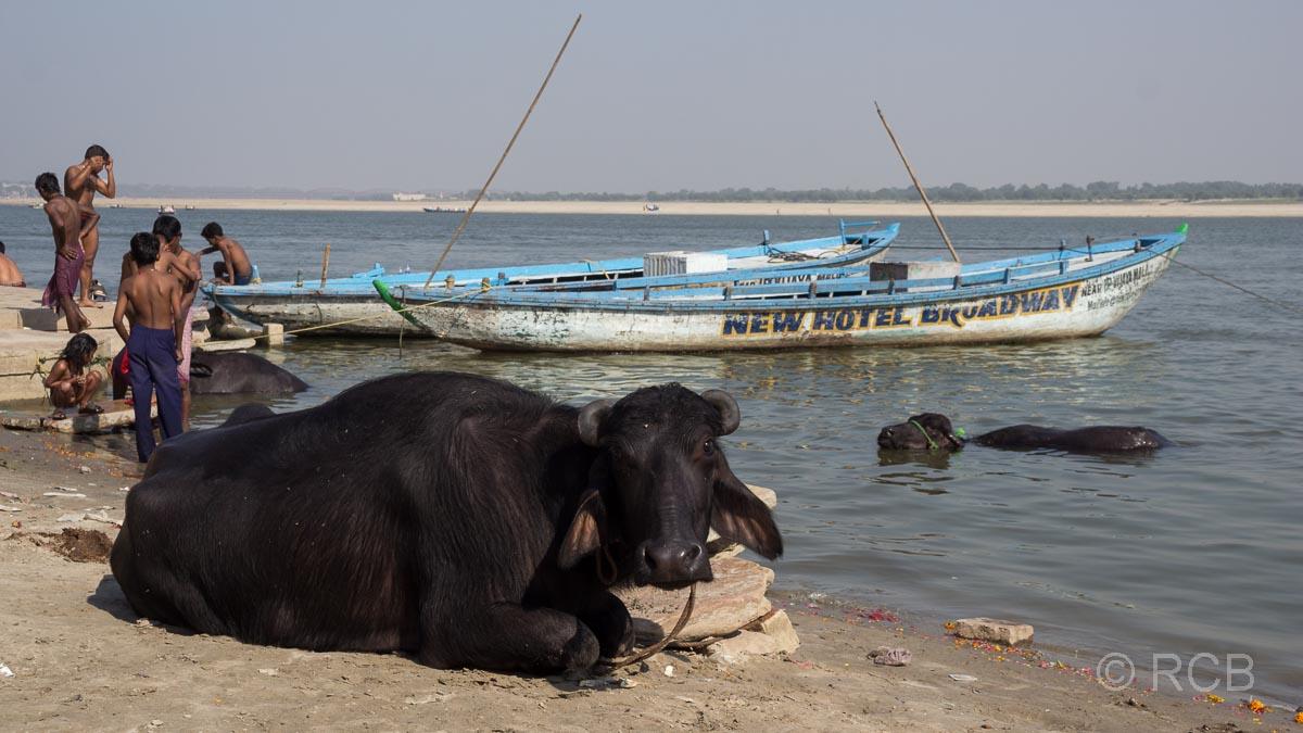 Varanasi, eine Kuh liegt an den Ghats