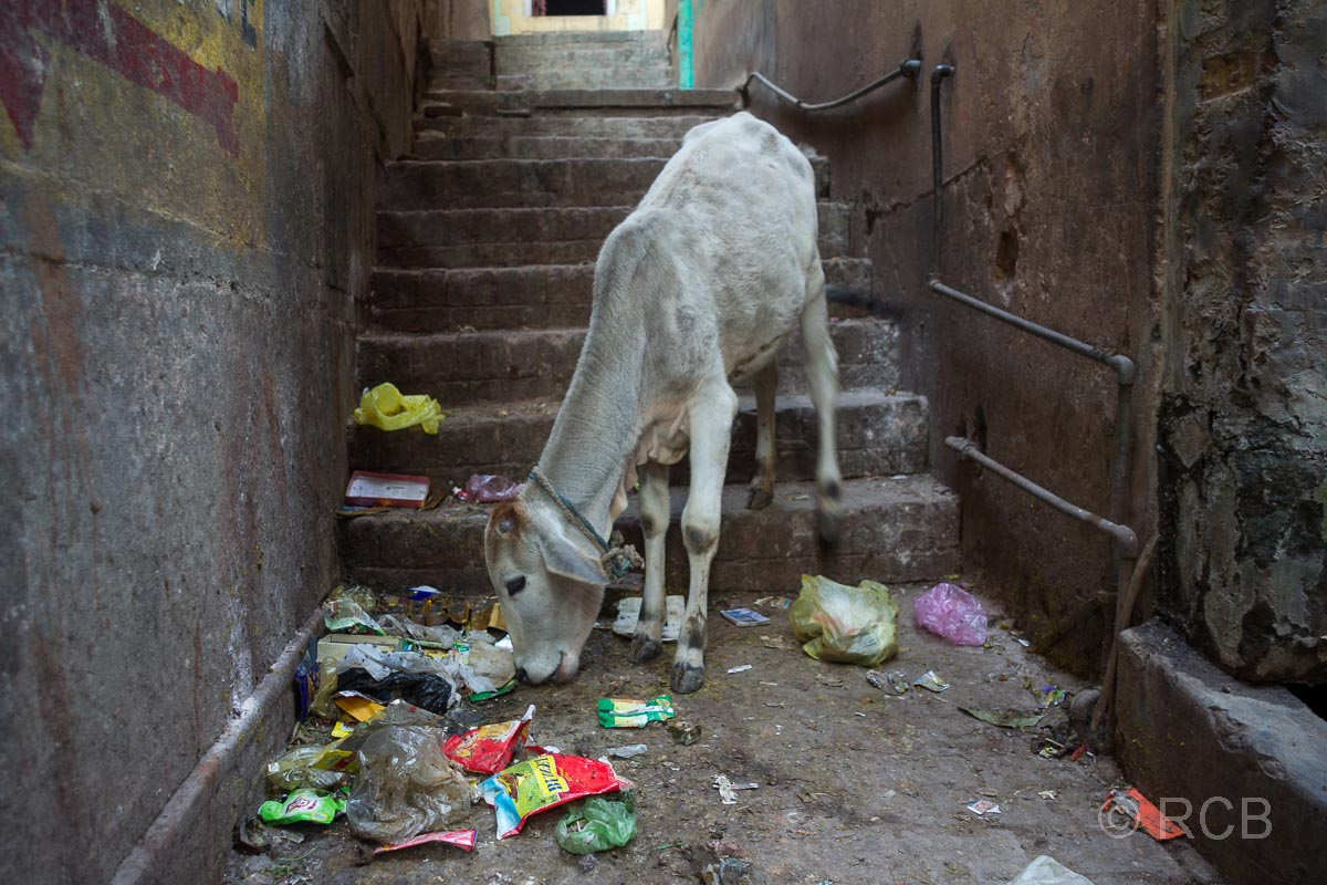 Varanasi, magere Kuh isst Abfall in der Altstadt