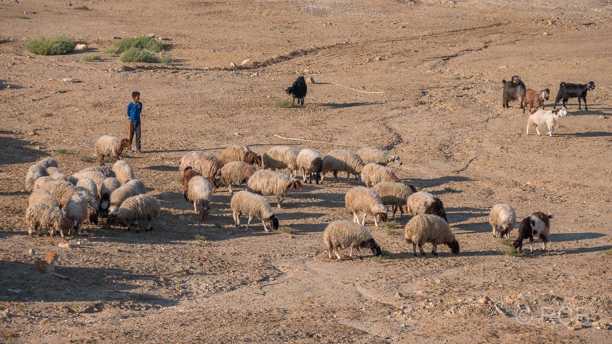 Hirtenjunge mit Schafen am Toten Meer