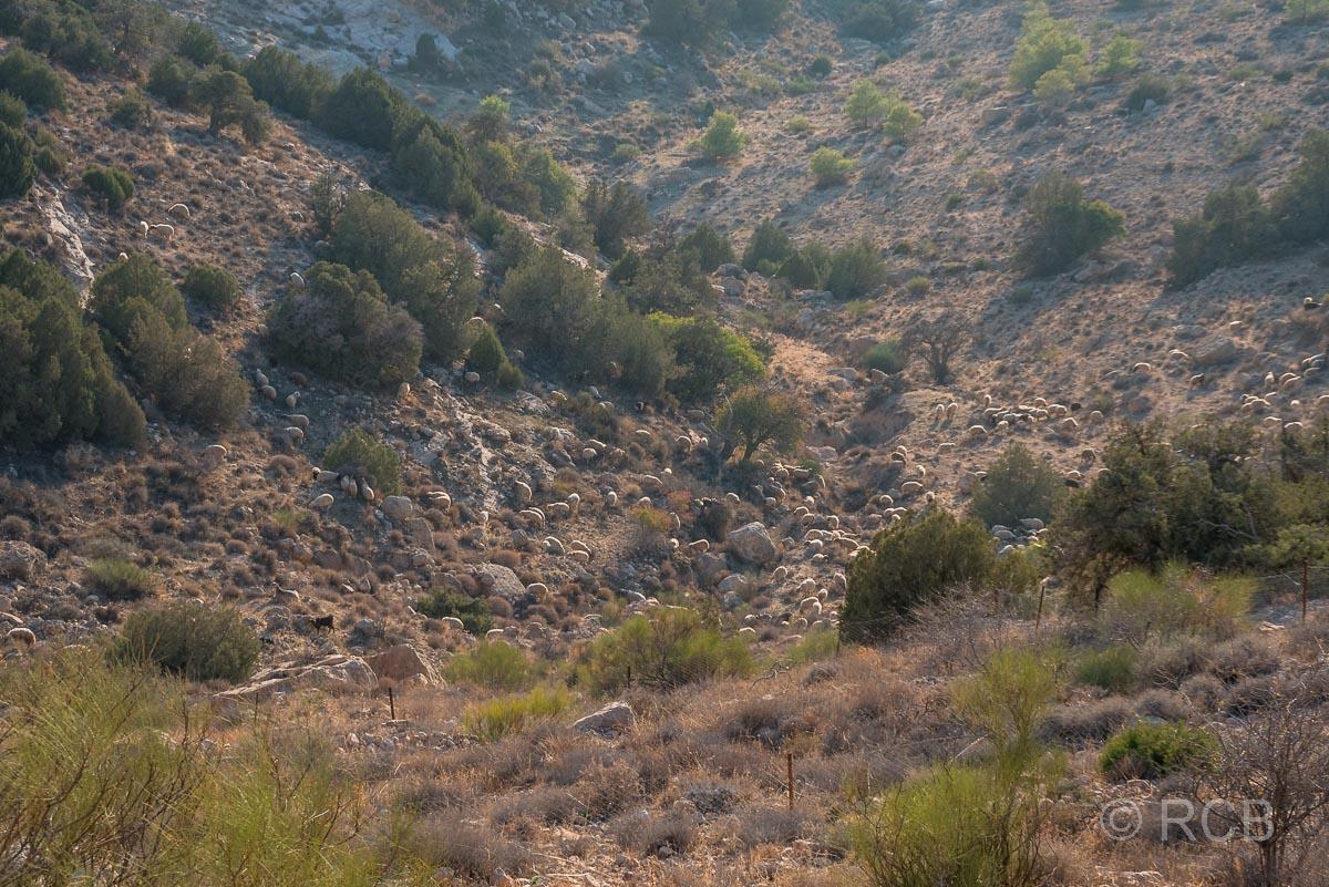 Schafherde im Dana Naturreservat