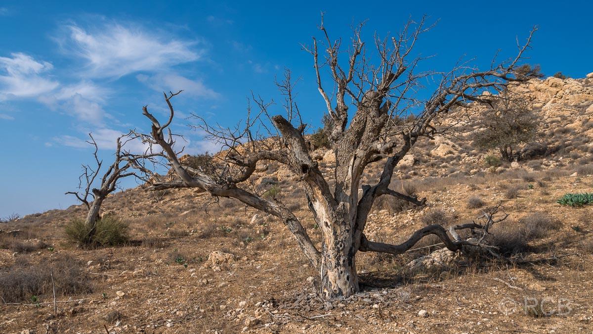karger Baum am Rummana Mountain Trail, Dana Naturreservat