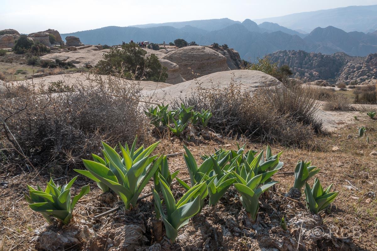 Rummana Mountain Trail, Felsbrocken und Meerzwiebeln, Dana Naturreservat