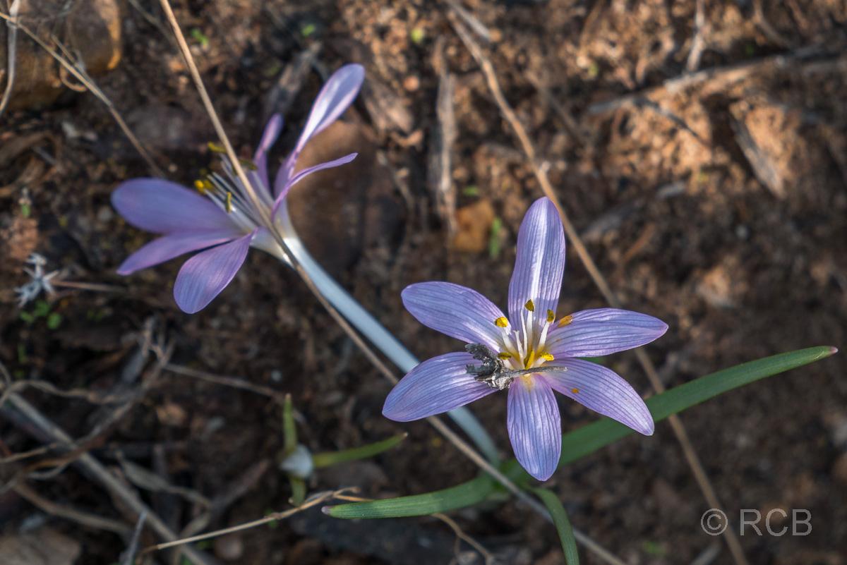 violette Blüten auf dem Campsite Trail, Dana Naturreservat