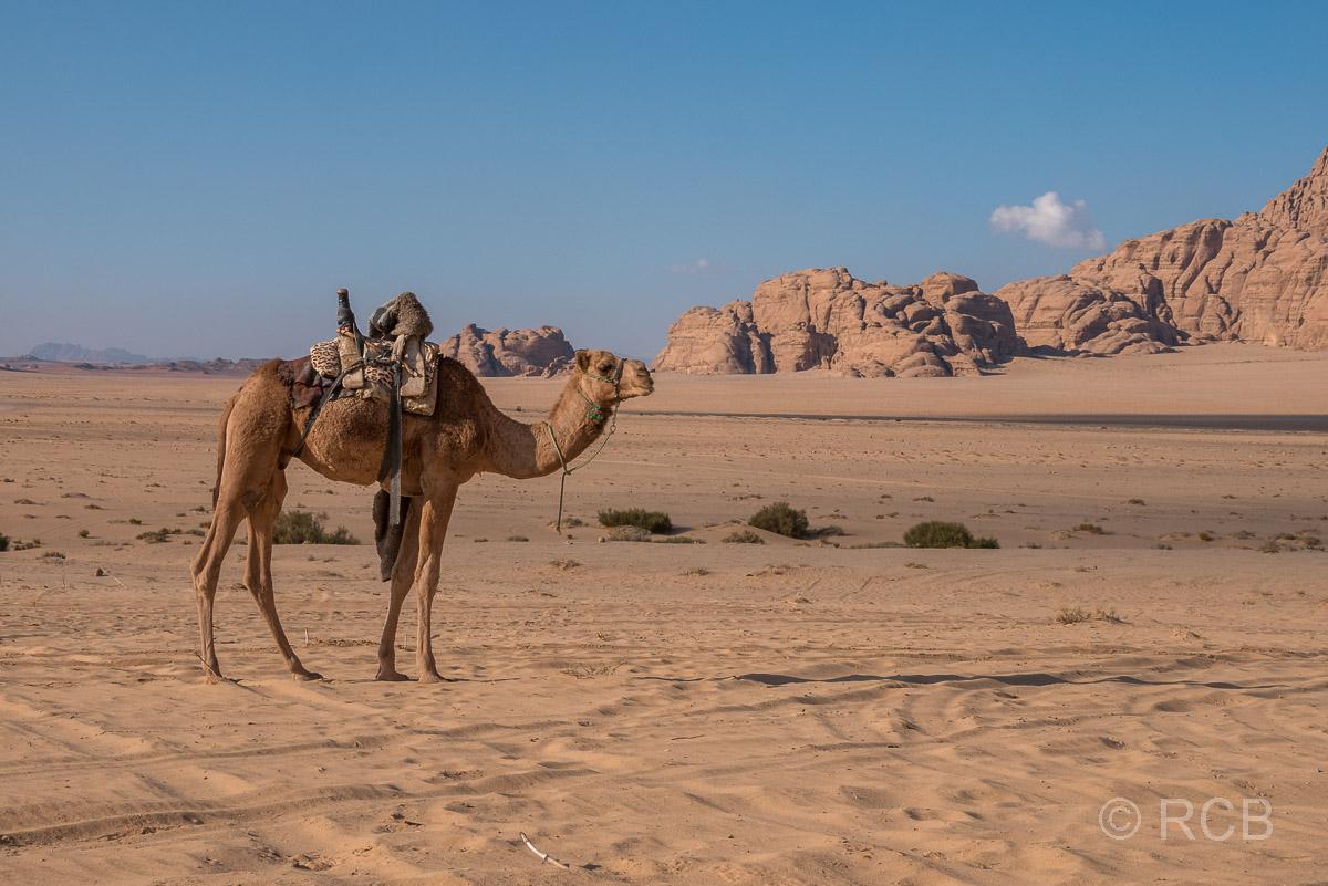 Dromedar im Wadi Rum