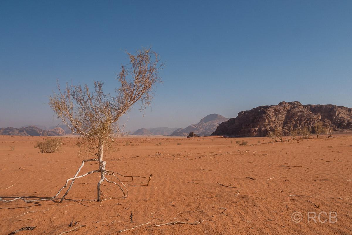 einsamer Baum in der Weite des Wadi Rum