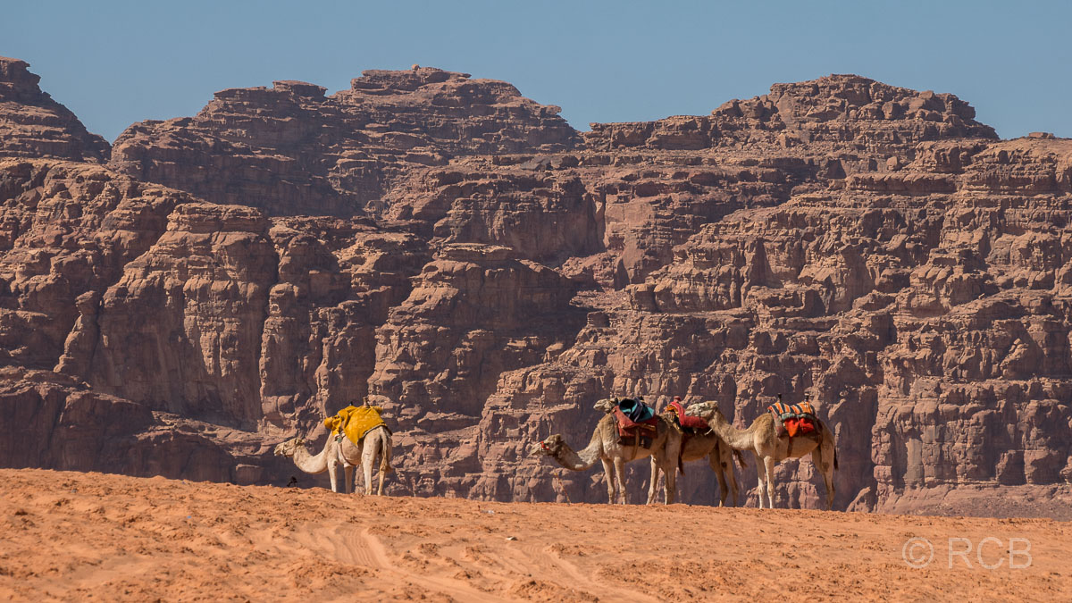 Dromedare vor Felskulisse im Wadi Rum