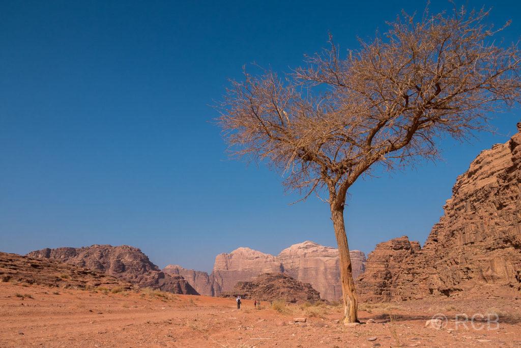 einsamer Baum zwischen Felsen in der Wüste des Wadi Rum