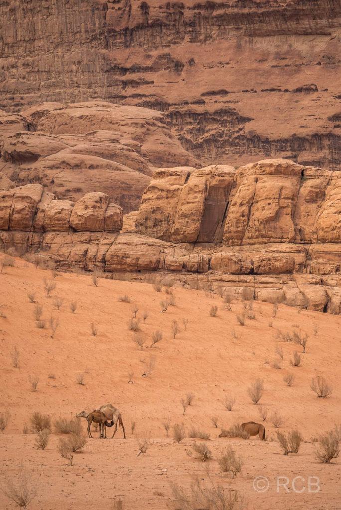 Dromedare in der Wüste des Wadi Rum