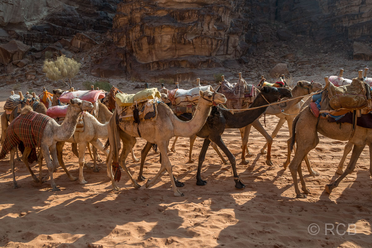 Dromedarkarawane im Wadi Rum