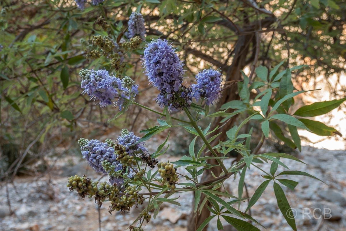 violett blühender Strauch in der Aradhena-Schlucht