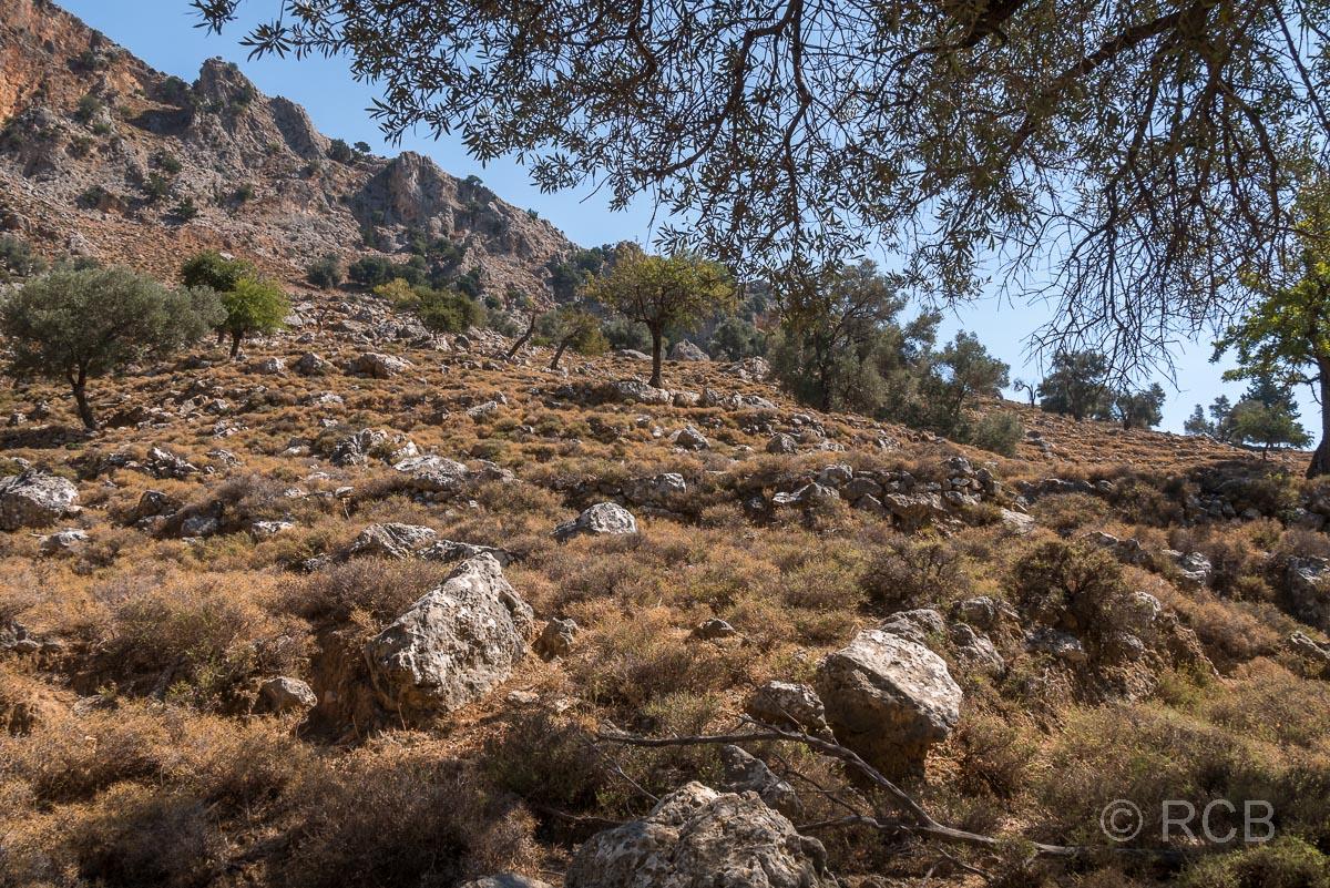 verfallene Oliventerrassen beim Ausstieg aus der Aradhena-Schlucht Richtung Livaniania