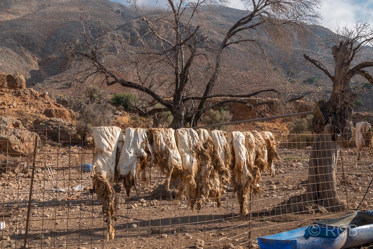 Ziegenfelle hängen zum Trocknen über einem Zaun