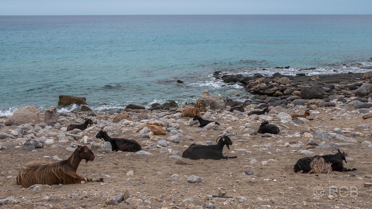 Ziegen am Strand am Wanderweg E4