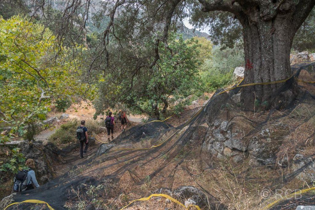 Wanderer im Abstieg durch Olivenhaine in Azogyres