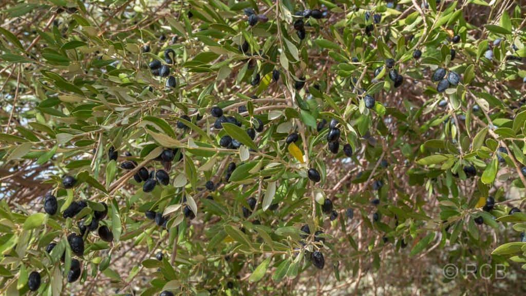 Baum mit Oliven, kurz vor der Ernte