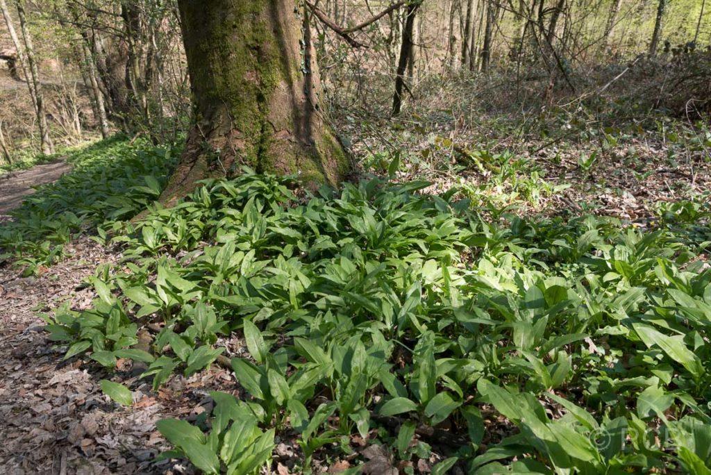 Bärlauchwiese im Wald bei Neviges am Neanderlandsteig