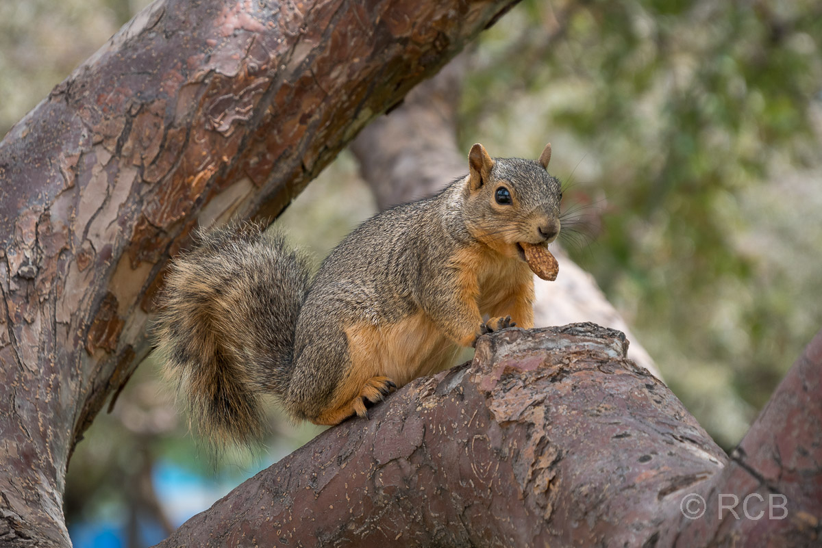 Eichhörnchen im Civic Park