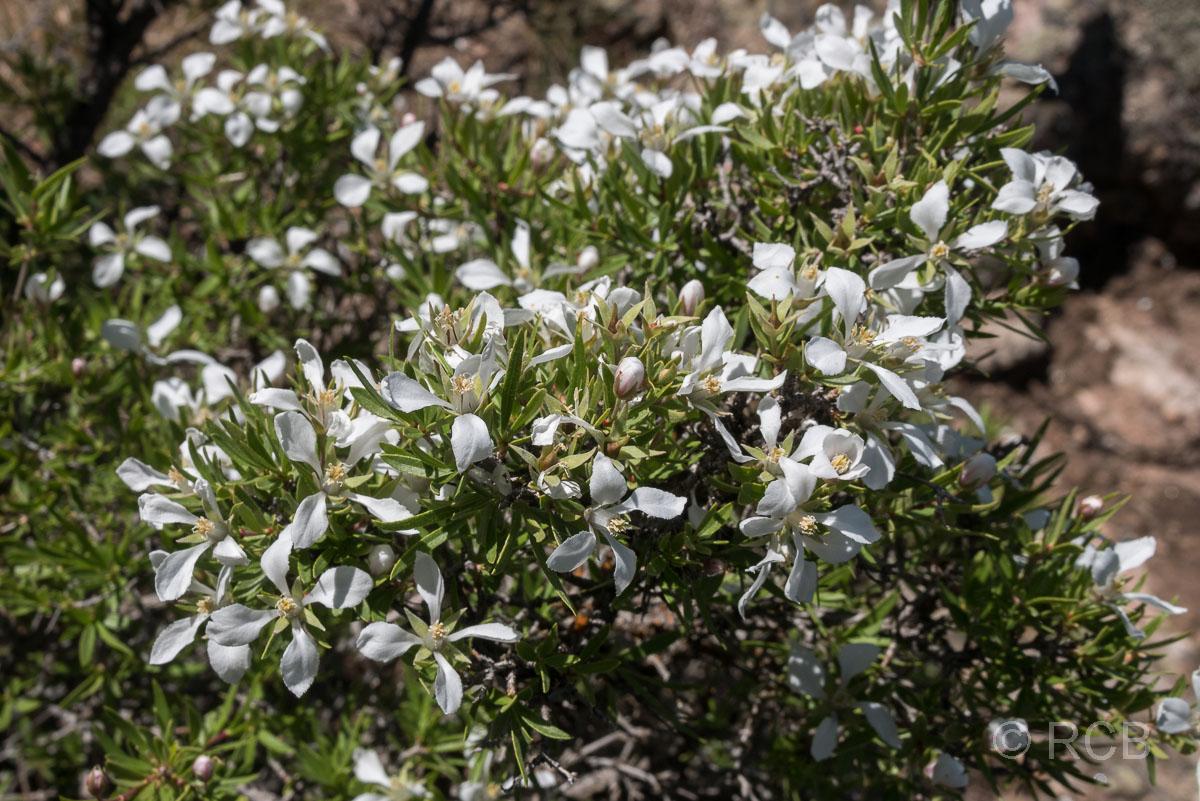 weiße Blüten im Black Canyon of the Gunnison National Park