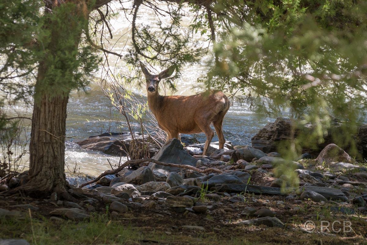 Weißwedelhirsch am Ufer des Gunnison River