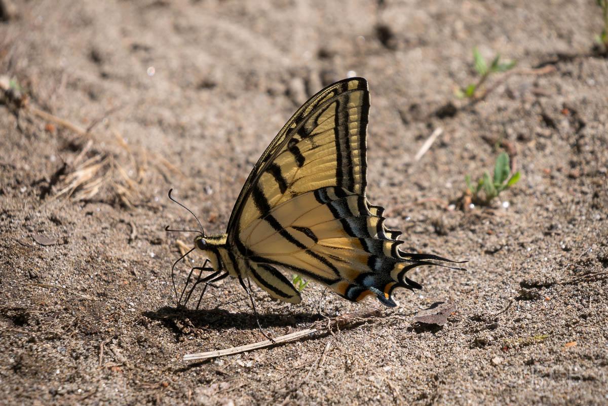 Schmetterling am Ufer des Gunnison River