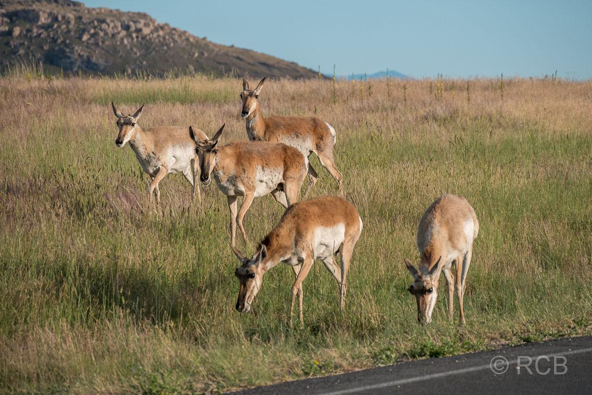 Gabelböcke, Antelope Island