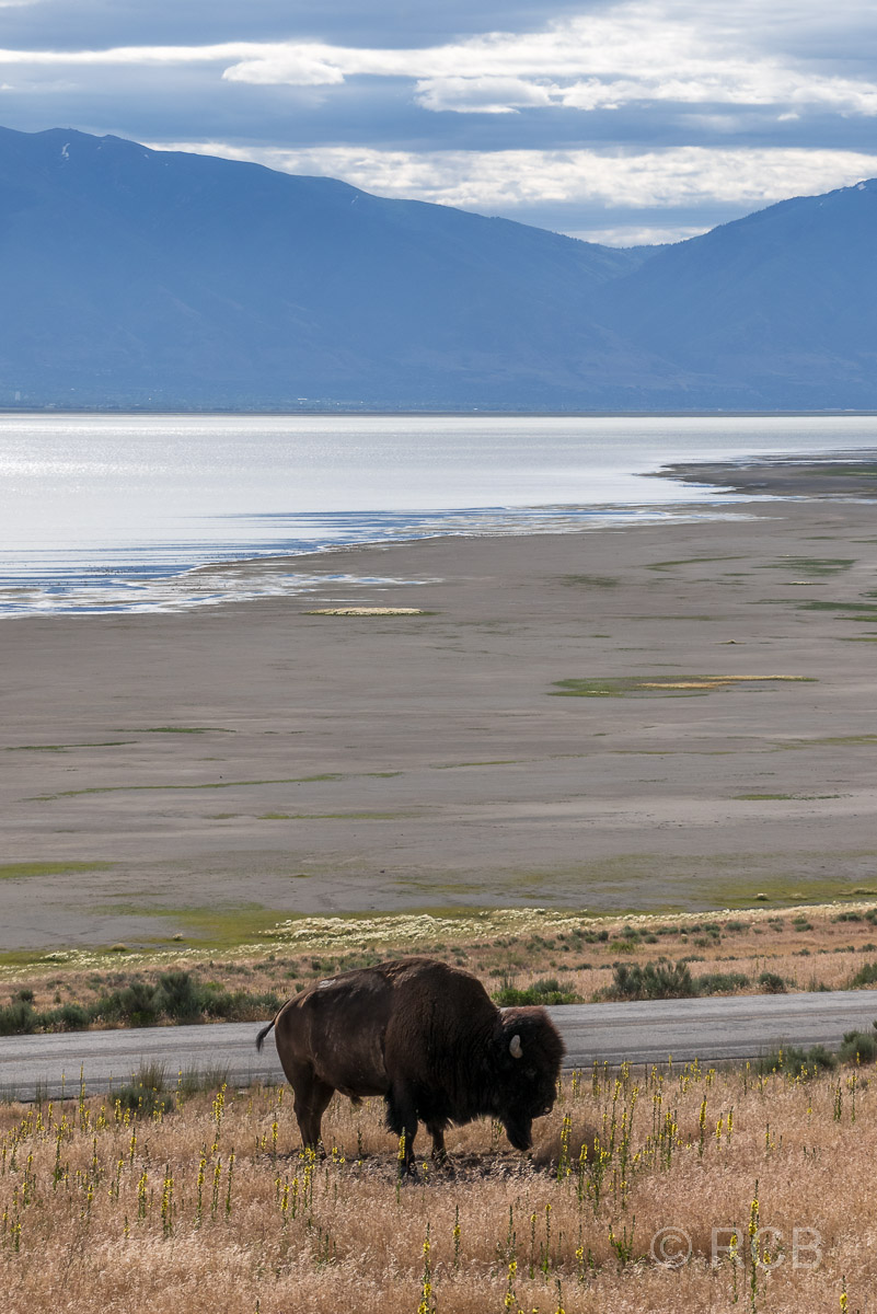Bison am Great Salt Lake