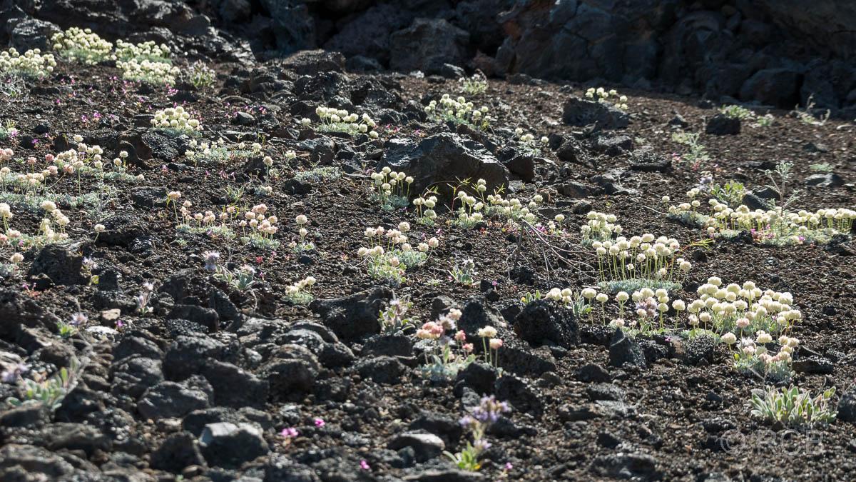 Blüten am Broken Top Loop, Craters of the Moon NM