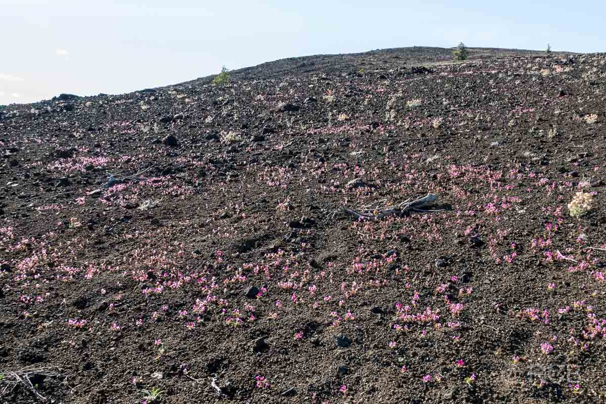 rosa Blütenmeer, Craters of the Moon NM