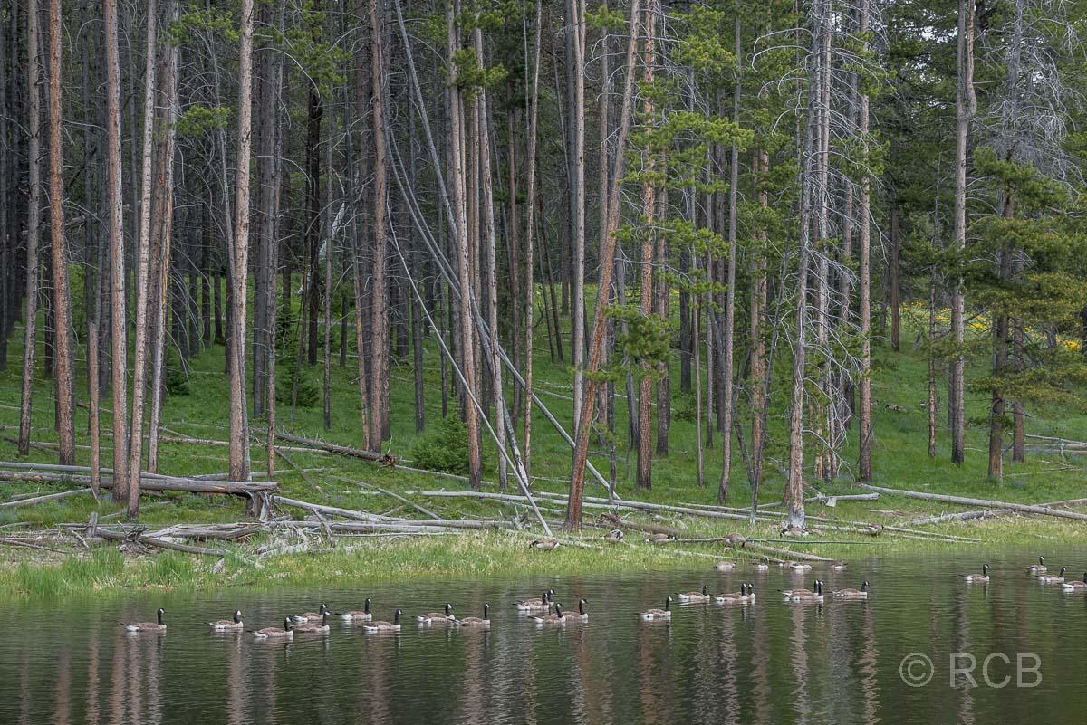 Kanadagänse auf dem Heron Pond. Grand Teton NP
