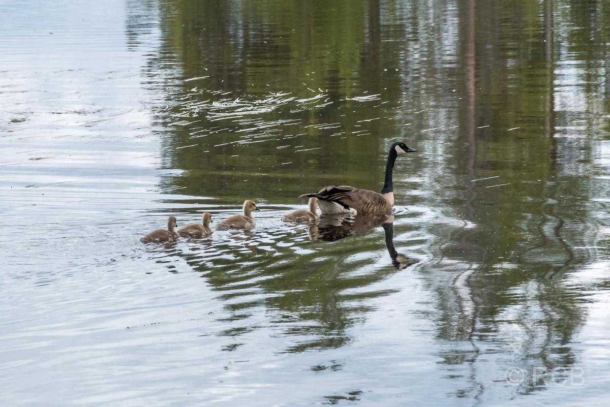 Kanadagänse, Swan Lake, Grand Teton NP