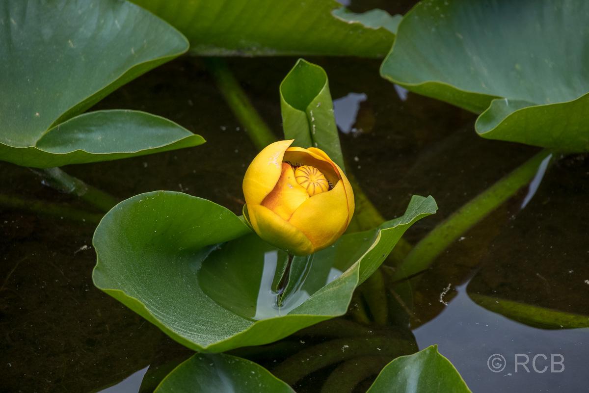 Teichrose auf dem Swan Lake, Grand Teton NP