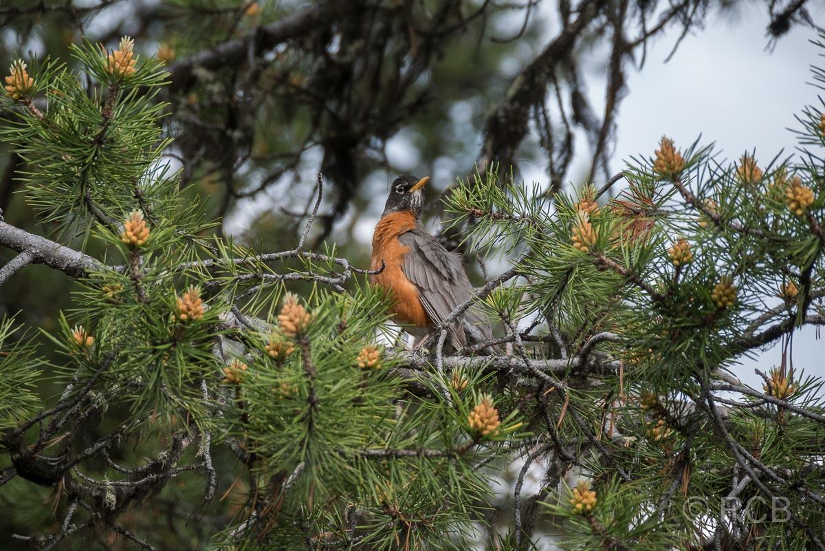Vogel am Lakeshore Trail, Grand Teton NP