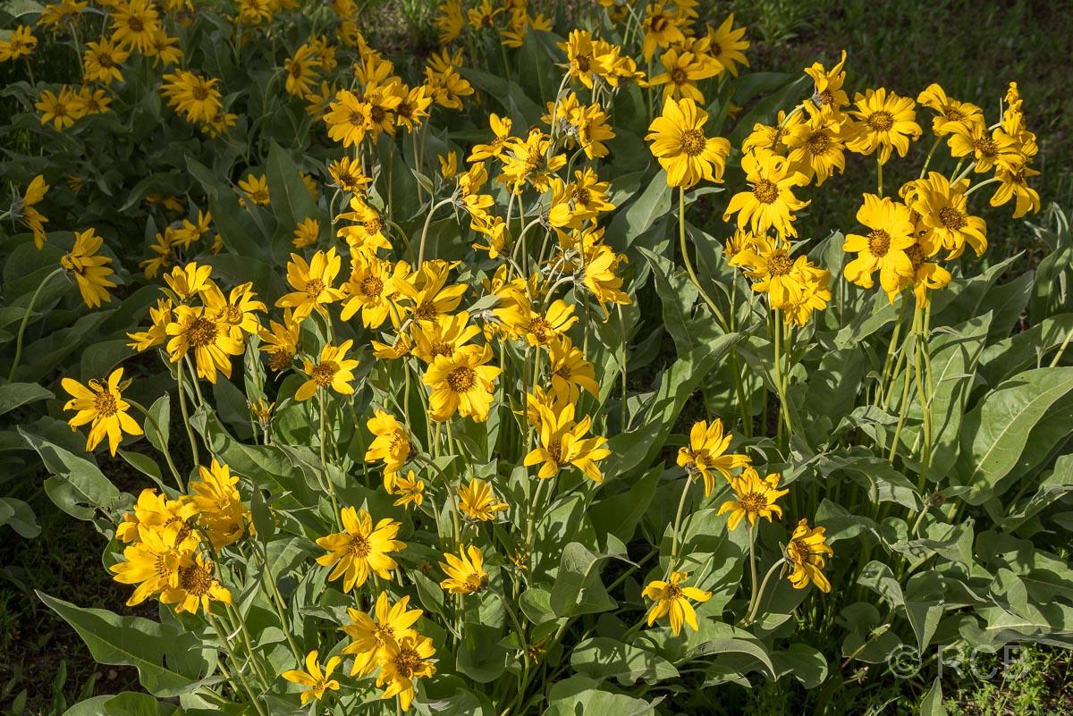 gelbe Blumen am Lakeshore Trail, Grand Teton NP